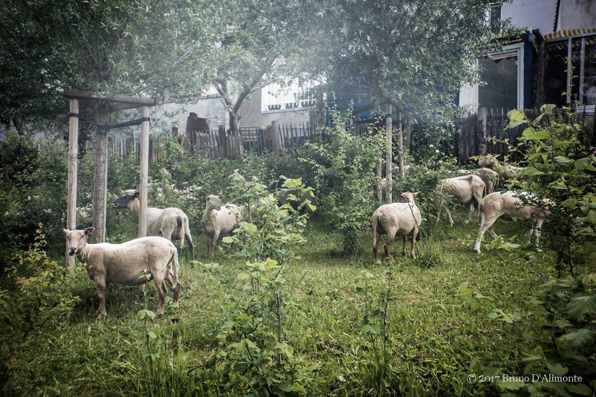 Le cheptel de Tour & Taxis, photographie representant des moutons qui paturent à Bruxelles © 2017 Bruno D'Alimonte
