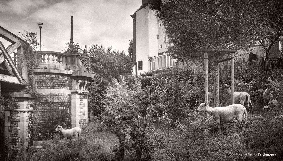 Photographie de Bruno D'Alimonte représentant un cheptel en ville à Bruxelles